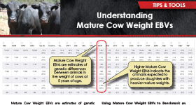 Understanding Mature Cow Weight EBVs
