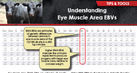 Understanding Eye Muscle Area EBVs