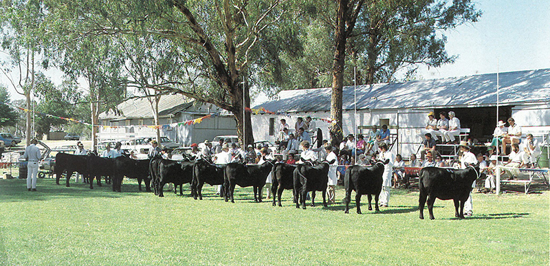 Judging underway at the first National Junior Angus Heifer Show and Herdsman's Contest  (Australian Angus Journal 1983)