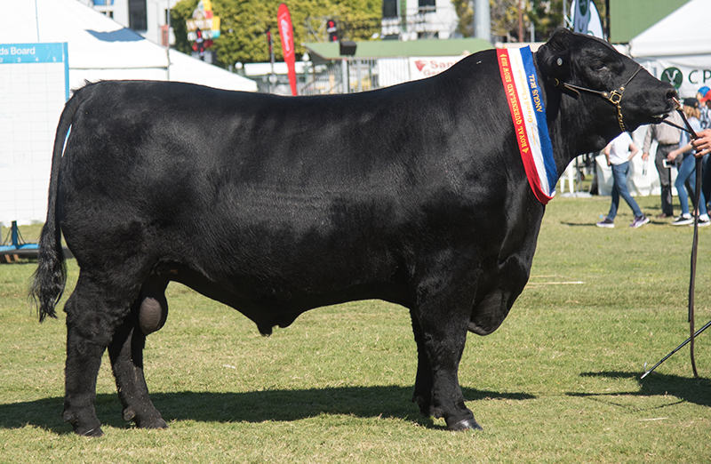 Senior Champion, Grand Champion Angus Bull & Champion of Champions - DSK YXC New Age N71 exhibited by CR Knox & HD Alexander