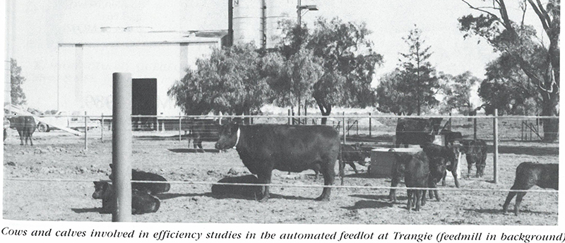 Cows and calves from the Trangie Angus Herd at the Automated feedlot (Australian Angus Journal 1989)