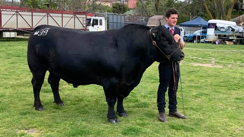 Grand Champion Angus Bull, Interbreed Senior Bull & Senior Champion Bull