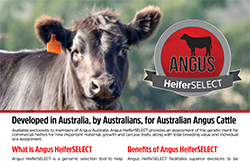 Angus HeiferSELECT