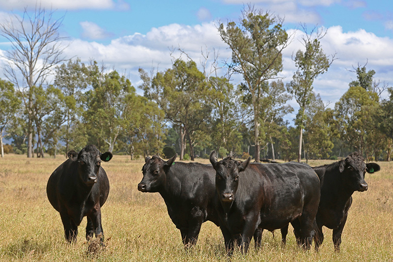 Cattle-5