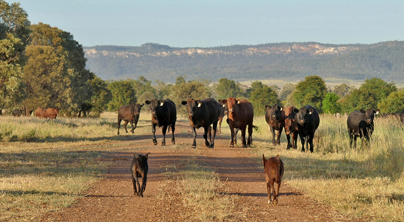 Cattle-6