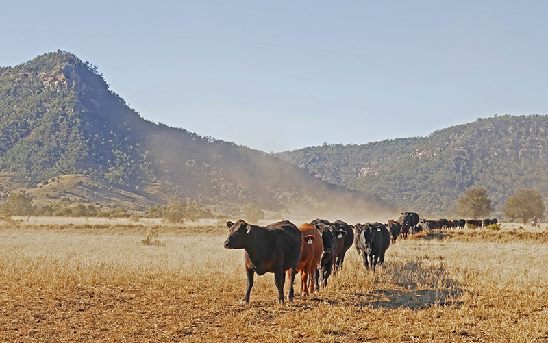 Cattle9A