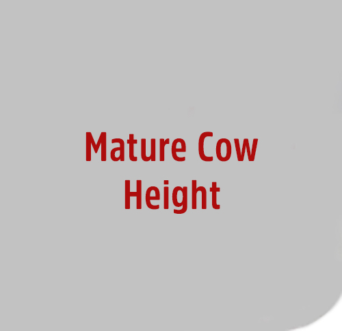Mature-Cow-Height
